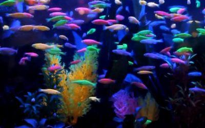 Даніо (Danio rerio) GloFish