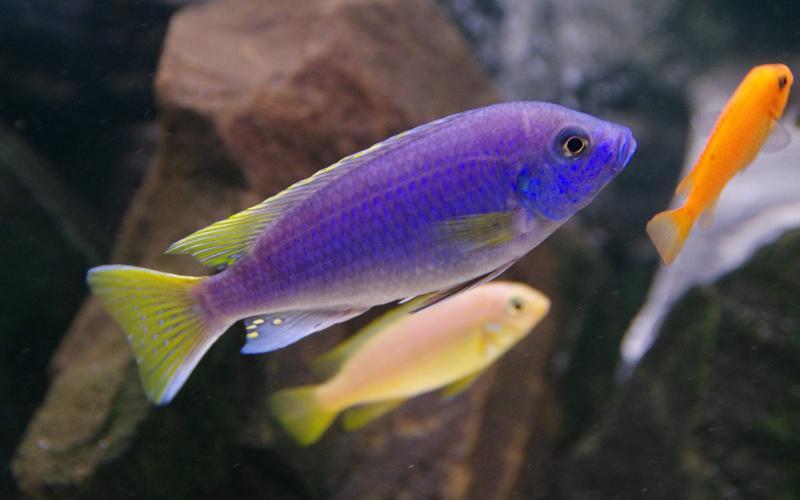 """Акі """"Лювала Риф"""" (Pseudotropheus spec. acei Luwala Reef)"""