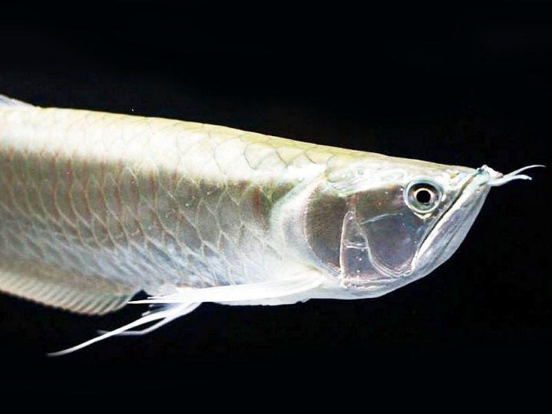 Арована срібна (Osteoglossum bicirrhosum)