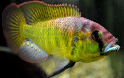 Астотіляпія Бартоні (Astatotilapia burtoni)