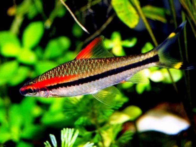 Барбус денісоні (Puntius denisonii)
