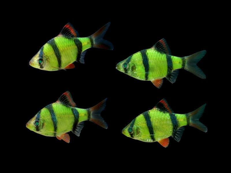 barbus-glofish-01