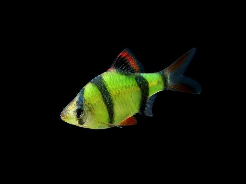 barbus-glofish-02