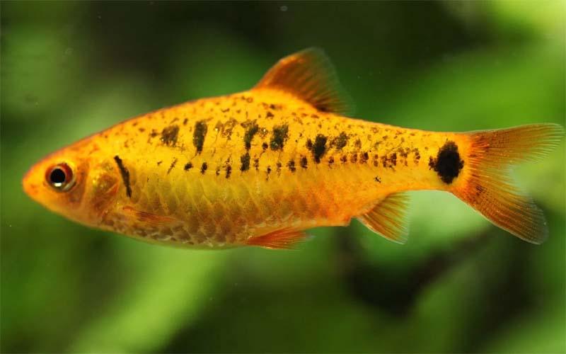 Барбус Шуберта (Puntius sachsi)