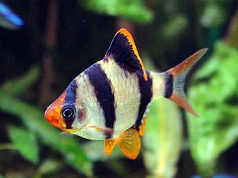 Барбус Суматранський (Barbus tetrazona)
