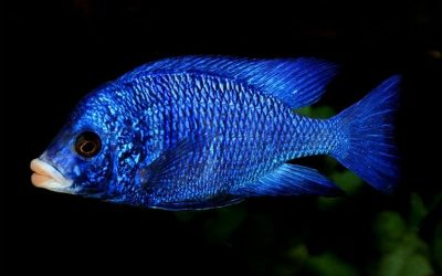 "Білогубий дельфін (Placidochromis phenochilus ""Mdoka white lips"")"