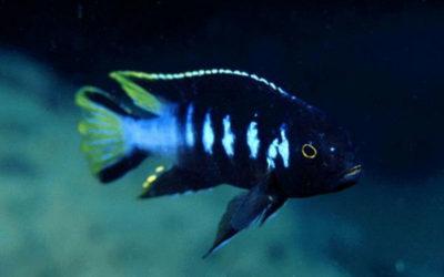 Елонгатус Чівері (elongatus chewere)