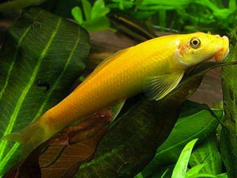 Герiнохелiус (gyrinocheilus aymonieri)