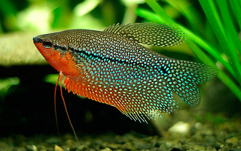 Гурамі перловий (Trichogaster leeri)