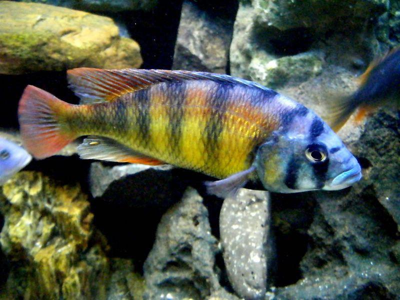 Хаплохроміс спец. 44 (Haplochromis Ch 44)