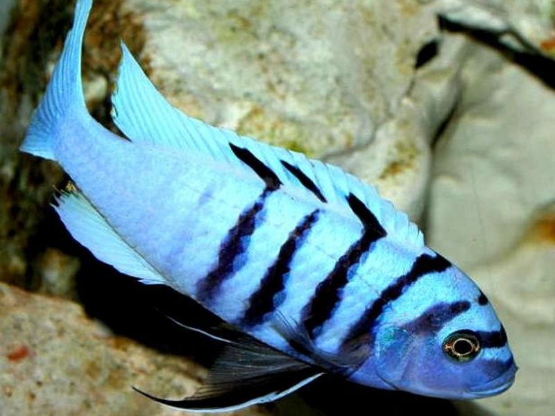 "Хара ""Галерея Риф"" (Cynotilapia sp. hara Gallireya Reef)"