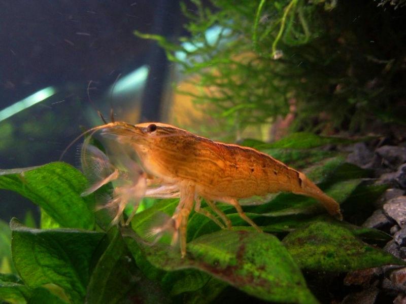 Креветка фильтратор (Atyopsis moluccensis)
