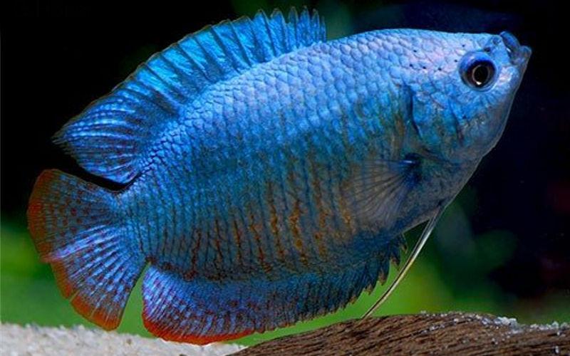 Ляліус синій (Colisa lalia)