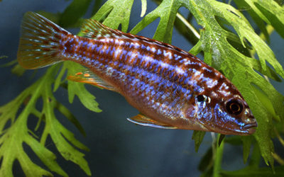 Меланохроміс екзасператус (Melanochromis exasperatus)