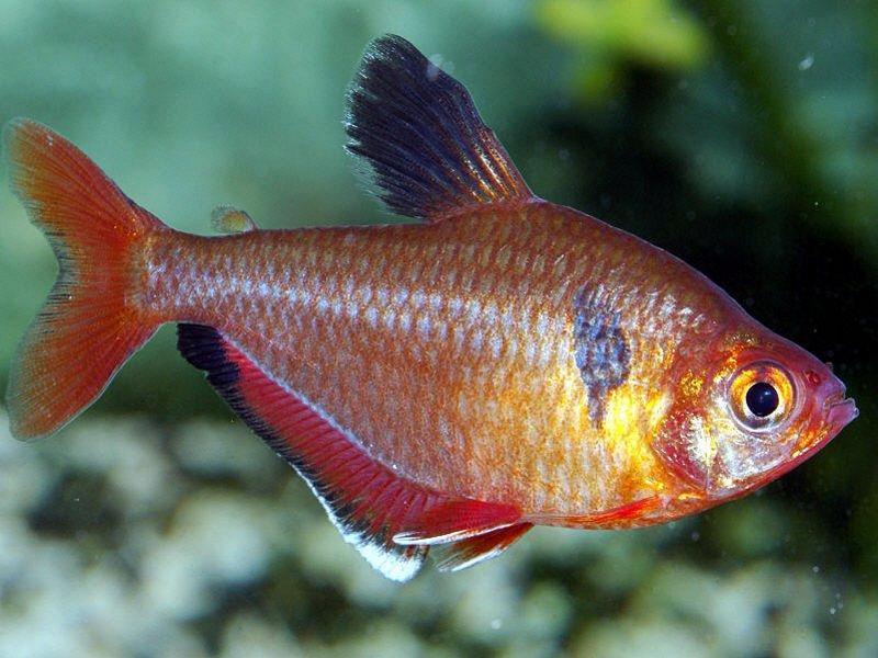 Мінор (Hyphessobrycon serpae)
