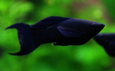 Молінезія чорна (Poecilia sphenops)