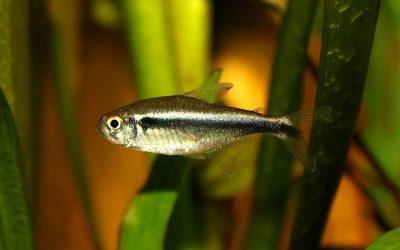 Неон чорний (Hyphessobrycon herbertaxelrodi)