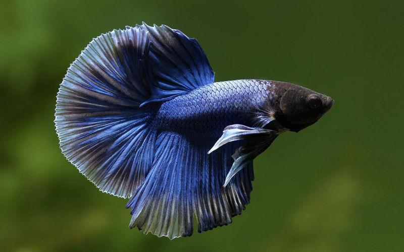 Півник або рибка бійцівська звичайна (Betta splendens)