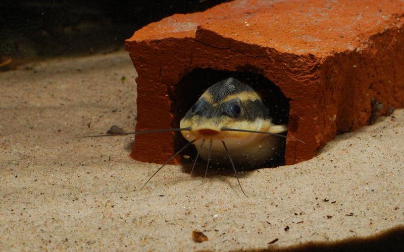 Платідорас полосатий (Platydoras armatulus)
