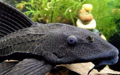 Плекостомус (Hypostomus plecostomus)