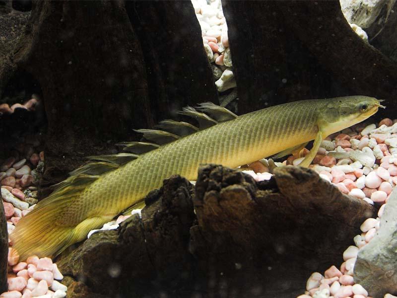 polipterus-synehalskyj-03