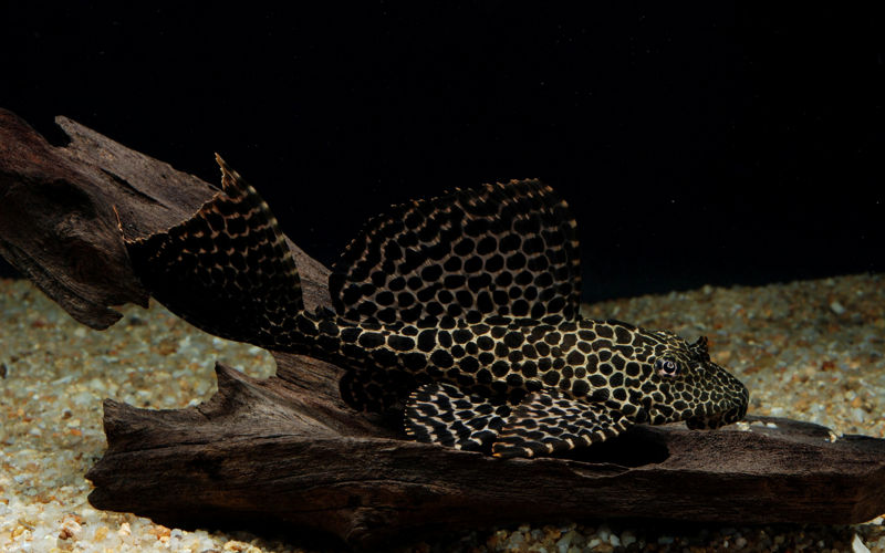 Порчовий птерігопліхт (Pterygoplichthys gibbiceps)