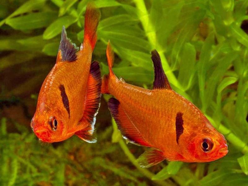Серпас (Hyphessobrycon eques)