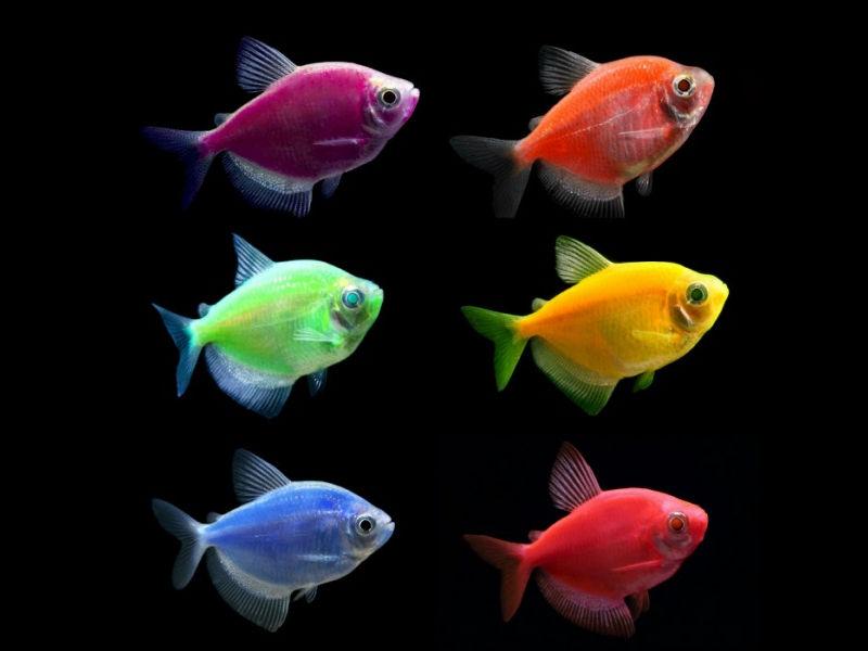 Тернеція GloFish