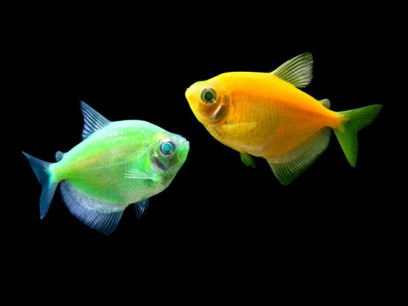 ternetsiia-glofish-02