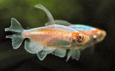 Тетра Конго Золота (Phenacogrammus interruptus)