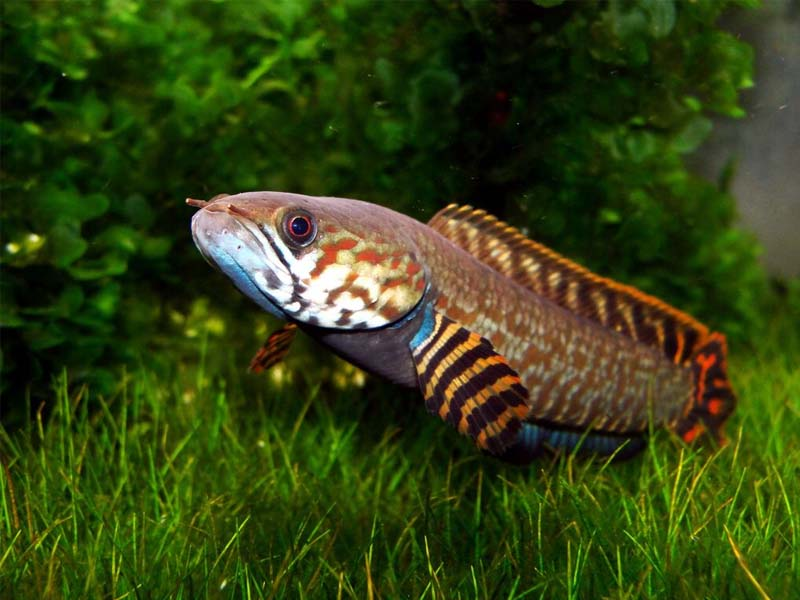 Змієголов Блеєра (Channa bleheri)