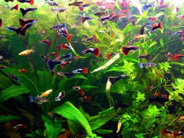 Які є види акваріумних рибок?